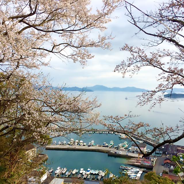 正福寺山 桜 呉